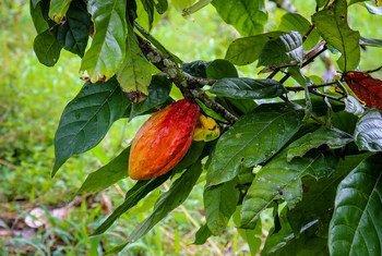 В ФАО помогают сохранить богатый генофонд растений, в первую очередь, для того, чтобы адаптировать сельскохозяйственные культуры к изменению климата.