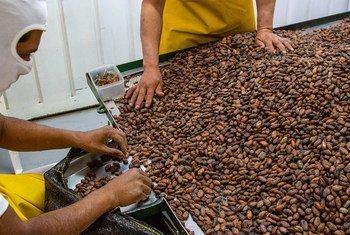 Production de cacao en Équateur