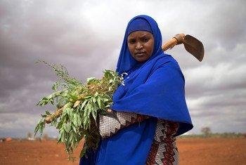 سيدة نازحة من الصومال تزيل الحشائش من أحد الحقول في بلدها حيث يعمل النازحون داخليا على زراعة الخضراوات مثل الطماطم والبصل والذرة