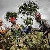 Members of a farmers cooperative harvest beans in Mwingi, Kenya.