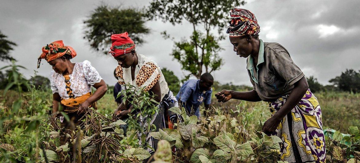 肯尼亚姆温吉农民合作社成员在收获豆子。