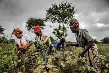 Mulheres que pertencem a cooperativa de agricultores, no Quênia, apanham feijão
