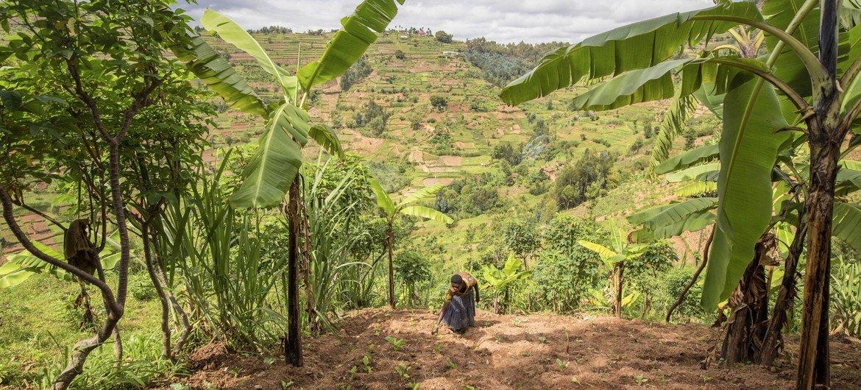 Los agricultores locales contribuyen a restaurar las tierras degradadas en Ruanda.