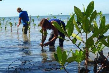 Los manglares están presentes en el 70% de las costas cubanas. Las comunidades del litoral participan en una iniciativa para regenerarlos.