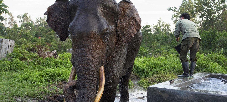 La Conferencia Mundial sobre la Vida Silvestre busca reforzar las regulaciones del comercio para muchas especies, entre ellas los elefantes