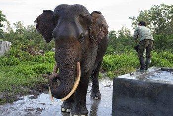 Les experts de la conservation de la nature réunis à Genève en août 2019 se concentrent sur le commerce de l'ivoire d'éléphant.