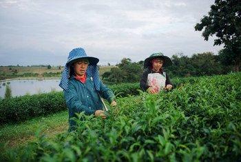 عاملات مهاجرات في مجال الزراعة في تايلاند.