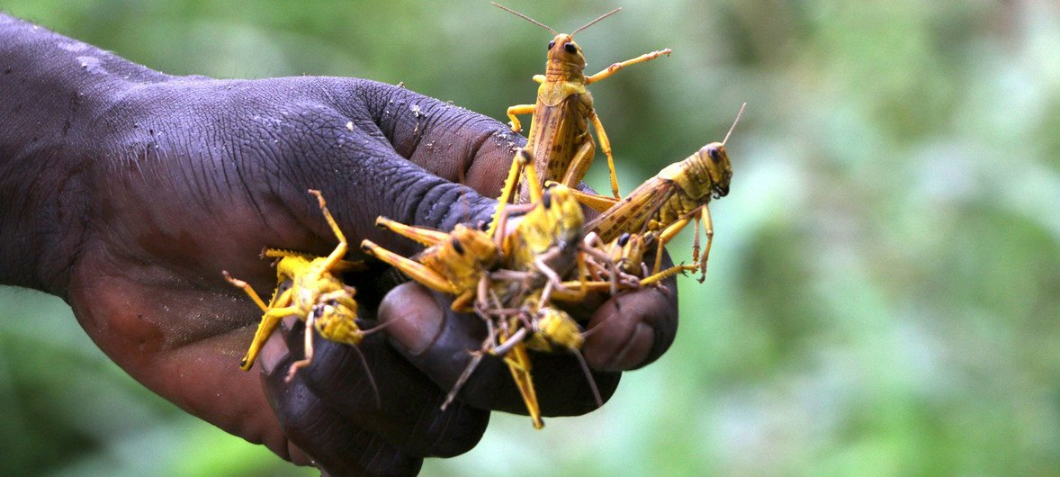 A wave of desert locusts has formed swarms in parts of South Sudan.