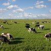 Cows graze in the peat meadows in the Netherlands