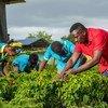 Rural communities in Jamaica have harvested rainwater in order to irrigate their crops.