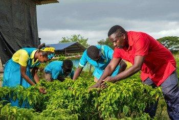 牙买加的农村社区收集雨水来灌溉庄稼。