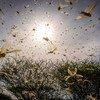 A desert locust swarm flies in Kipsing, Kenya.