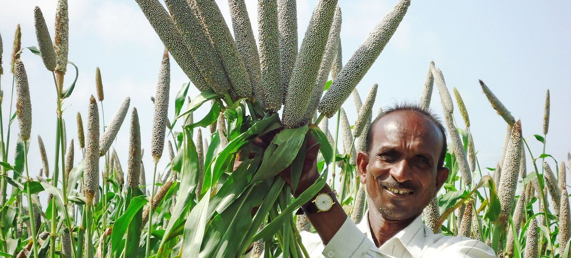High-iron biofortified pearl millet variety Dhanshakti released in India's western state of Maharashtra. (23 September, 2011)