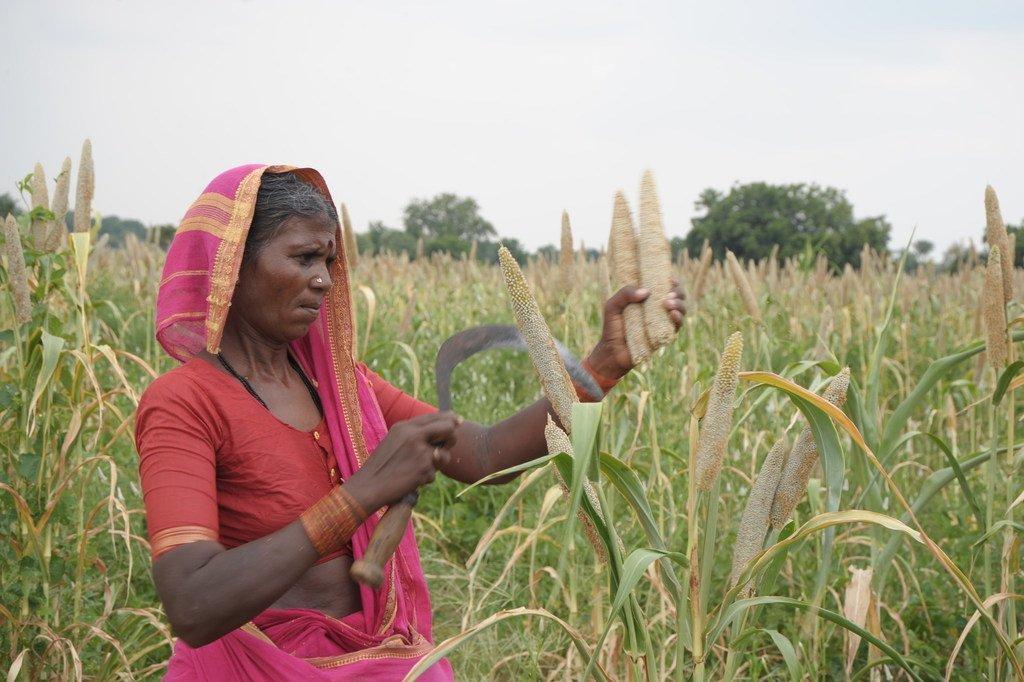 Una campesina cosecha mijo en la India.