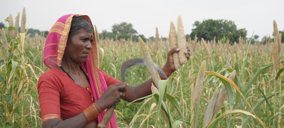 A woman farmer using a sickle to harvest pearl millet  in the state of Telangana, India. (2 October, 2011)