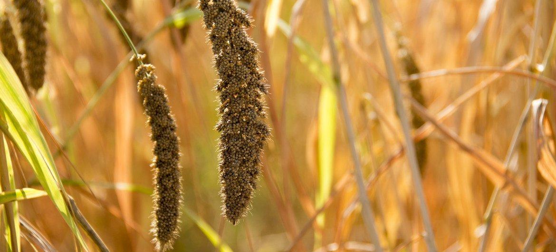 Foxtail millet. (8 November, 2017)