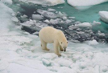 Ursos polares poderão desaparecer ainda neste século.