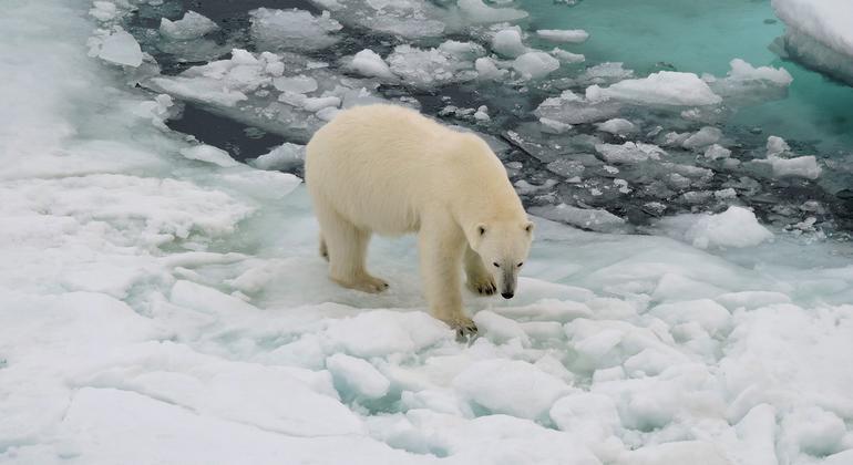 El habitát natural del oso polar está desapareciendo al tiempo que las capas de hielo se derriten.