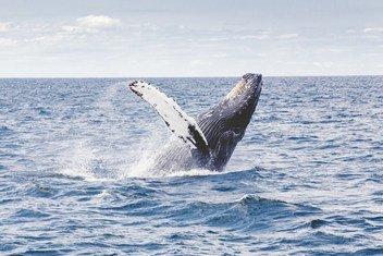 Biólogos marinhos descobriram que baleias capturam carbono da atmosfera.