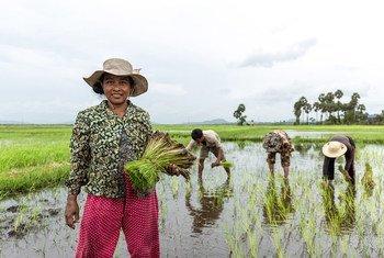 A farmer in Cambodia cultivates her rice crop.