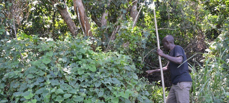 Área florestal em Bungoma, Uganda