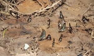 De acordo com o Programa da ONU para o Meio Ambiente, ONU Meio Ambiente, mais de 230 espécies de borboletas povoam os 42 mil hectares de Arabuko Sokoke.