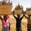 Women carrying pearl millet  harvest home in Mali.