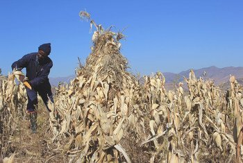 A farmer uses conservation agriculture to grow maize in Lesotho.