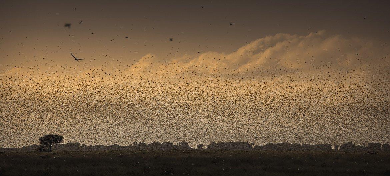 Nuvem de gafanhotos do deserto no leste da África