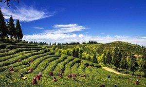 福州的茉莉花茶田。