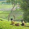 Les feuilles de thé sont récoltées dans une plantation au Rwanda.