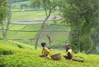 حصاد أوراق الشاي في إحدى المزارع في رواندا.