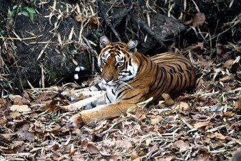 印度的孟加拉虎。