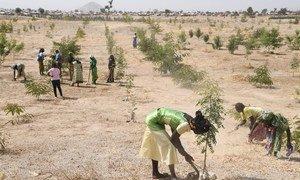 喀麦隆东北部米纳沃的难民在一个因气候变化和人类活动而被砍伐的地区植树。