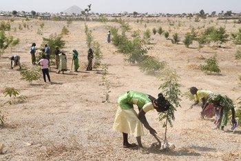 Des réfugiés à Minawao, dans le nord-est du Cameroun, plantent des arbres dans une région marquée par la déforestation.