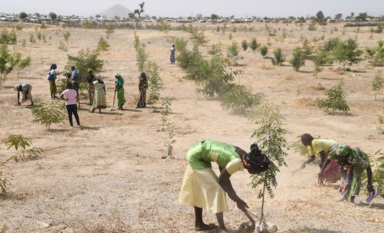 Refugees in Minawao, in northeastern Cameroon, plant trees in a region which has been deforested due to climate change and human activity.