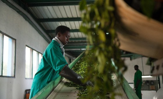 Trabalhador em uma Instalação de Processamento de Chá, em Ruanda.