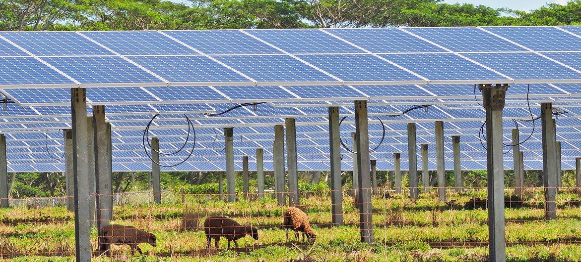 Las ovejas evitan que el pasto crezca en los paneles solares de la Cooperativa de Servicios Públicos de la Isla de Kauai, en Hawai