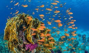 Fish swim around a coral reef in the Red Sea off the coast of Egypt.