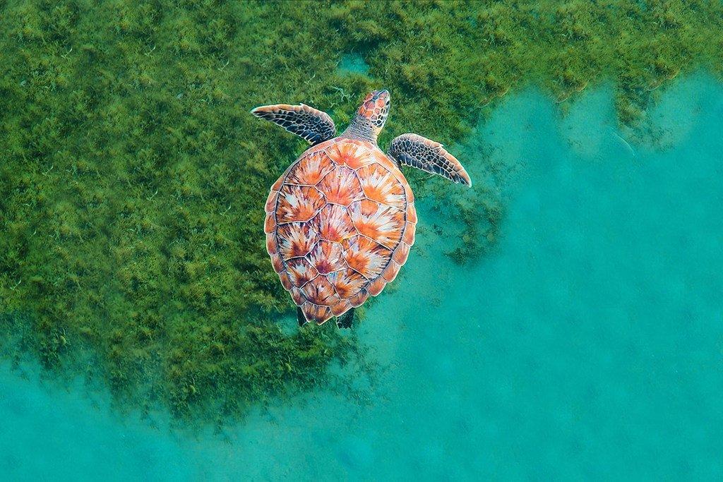 Une tortue nage dans l'océan en Martinique, dans les Caraïbes.