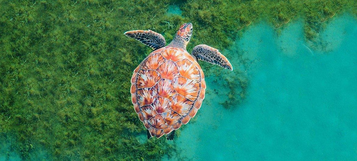 Uma tartaruga nada no oceano na Martinica, no Caribe.