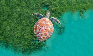 Una tortuga nada en el océano cerca de la isla caribeña de Martinica.