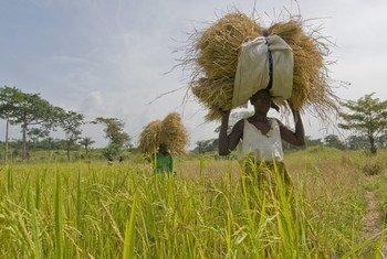 Mulheres agricultoras em plantação de arroz em Serra Leoa.