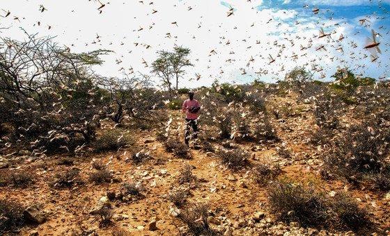 Invasão de gafanhotos do deserto que estão dizimando as plantações na Somália.
