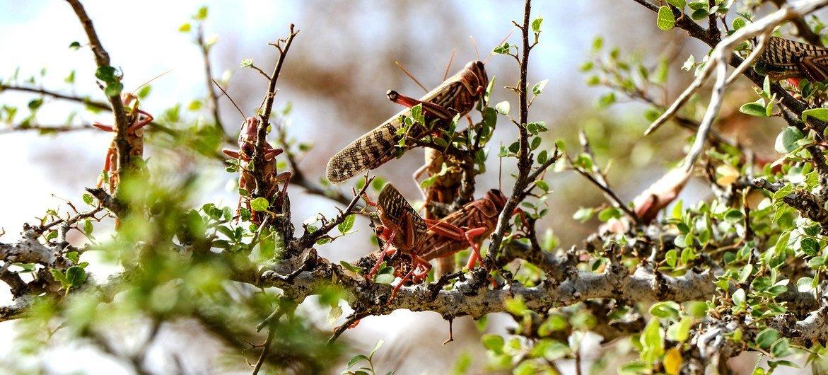 Praga dos gafanhotos do deserto continuará aumentando o risco de danos às pastagens e às plantações