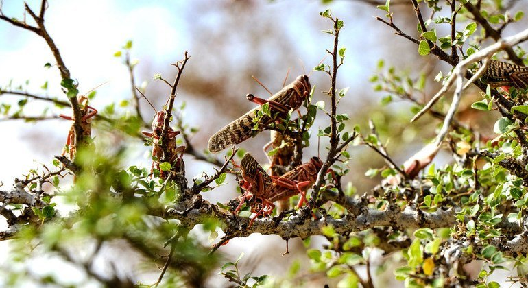Locusts continue to threaten the livelihoods of people in Somalia.
