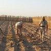 由于发现了未爆炸的集束弹药,伊拉克的百姓只能停止对于这片土地耕作,好让专业人员能够开展清理工作。