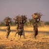 Young women carry bundles of firewood in the Tahoua region of Niger. (file)