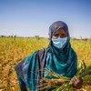 非洲的粮食系统受到了气候变化引发的冲击、冲突以及最近发生的新冠大流行的不利影响。