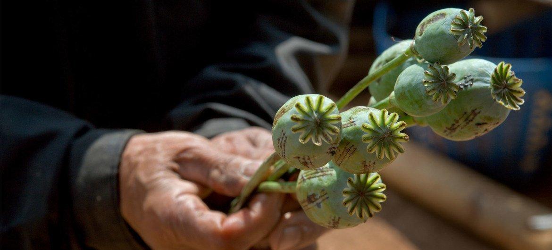 El cultivo de opio se mantiene en Afganistán.